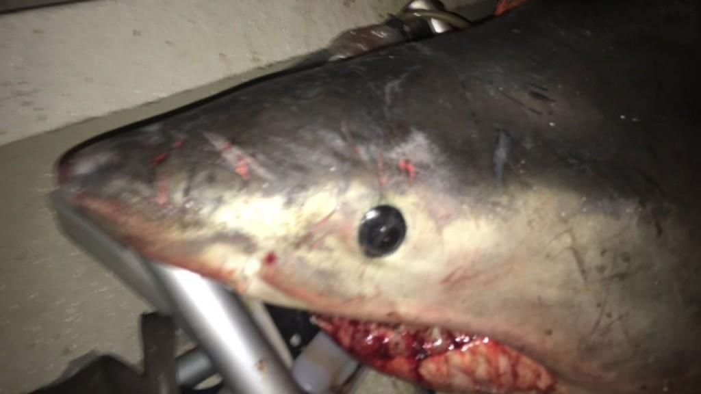 Great white shark leaps into fisherman's boat