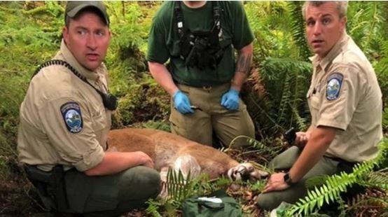 911 calls reveal desperate moments after cougar attack