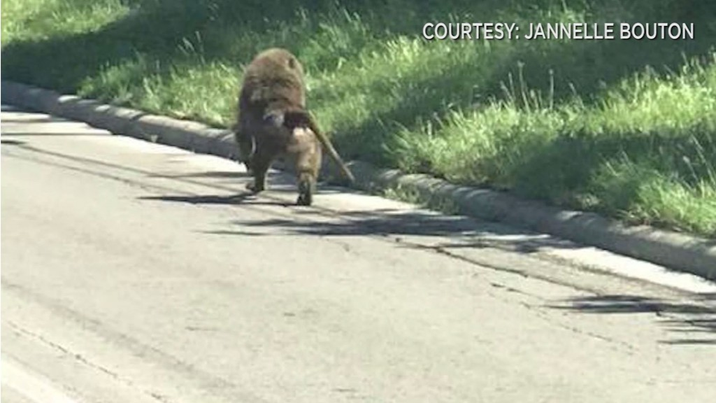 Baboons break out of a research center