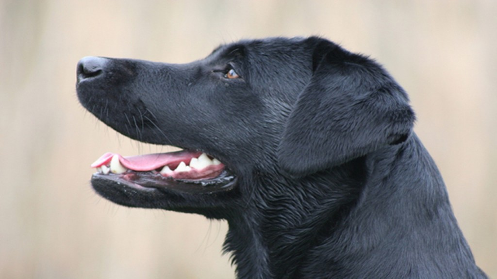 Labrador retriever most popular dog in US once again