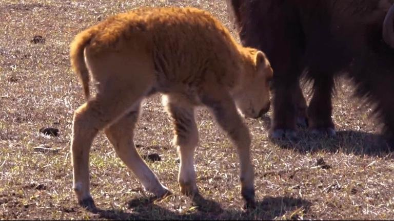 Park welcomes first baby buffalo of 2018