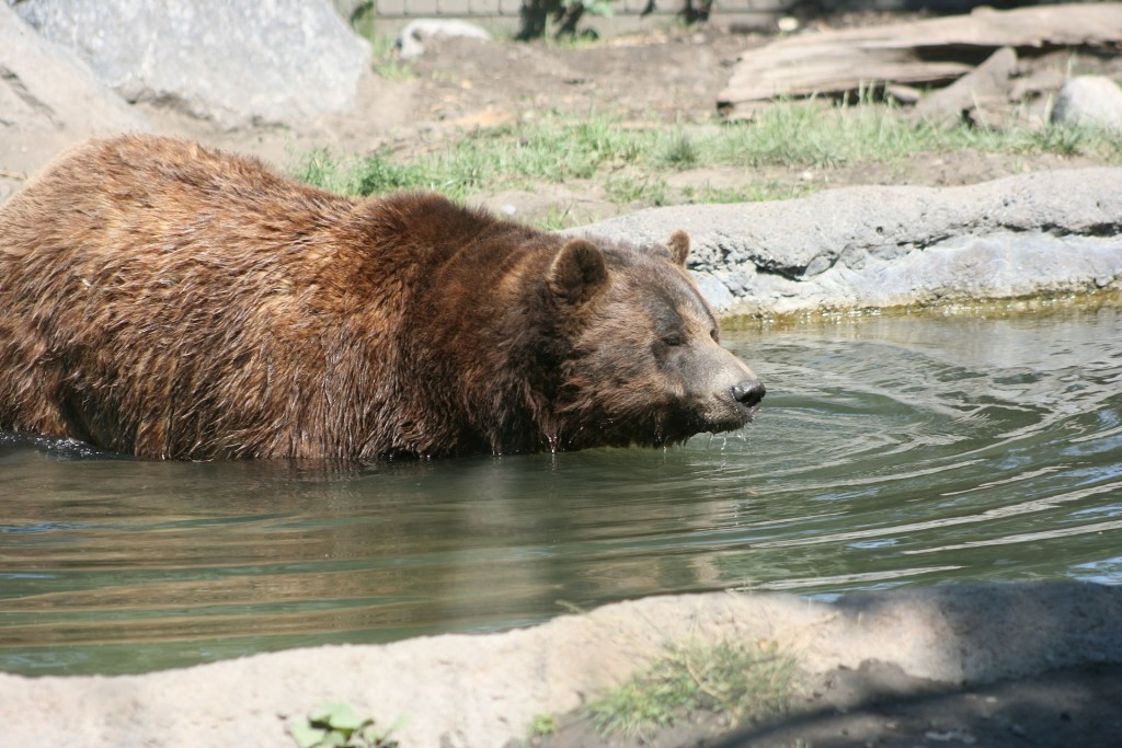 Restoration of protections for Yellowstone grizzlies urged