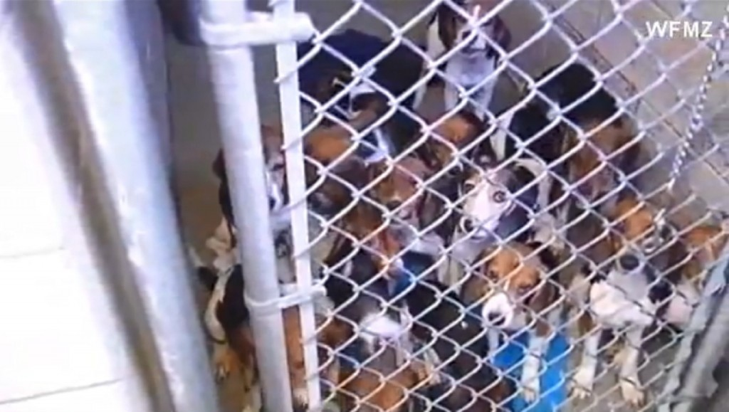 65 beagles rescued from Pennsylvania home