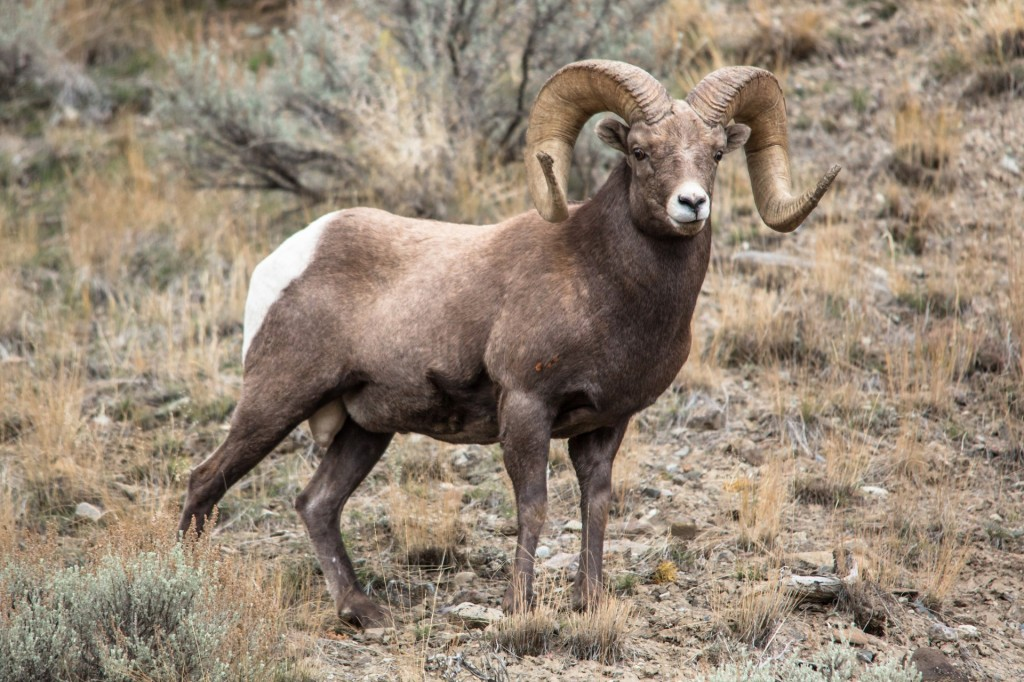 Yellowstone rams catch disease causing unsightly mouth sores