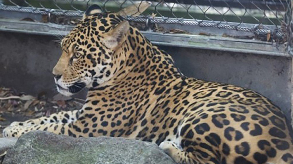 Jaguar kills 4 alpacas, emu, fox at New Orleans zoo