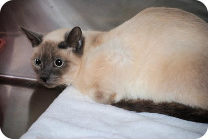 26 Siamese Cats Need a Good Home