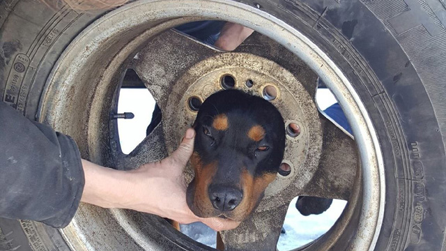 Dog rescued after wedging head into wheel