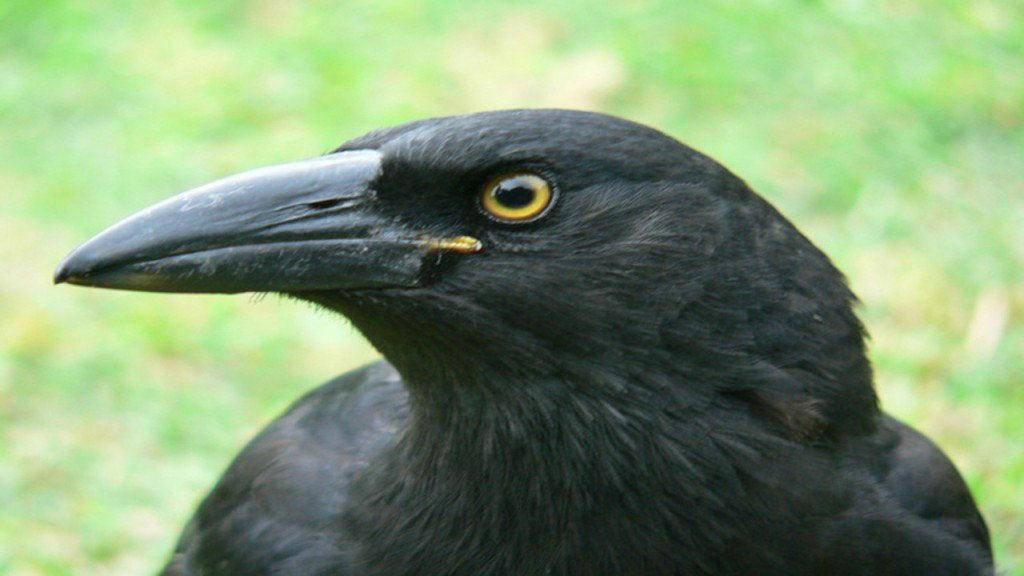 Mail suspended in Canada after crow attacks