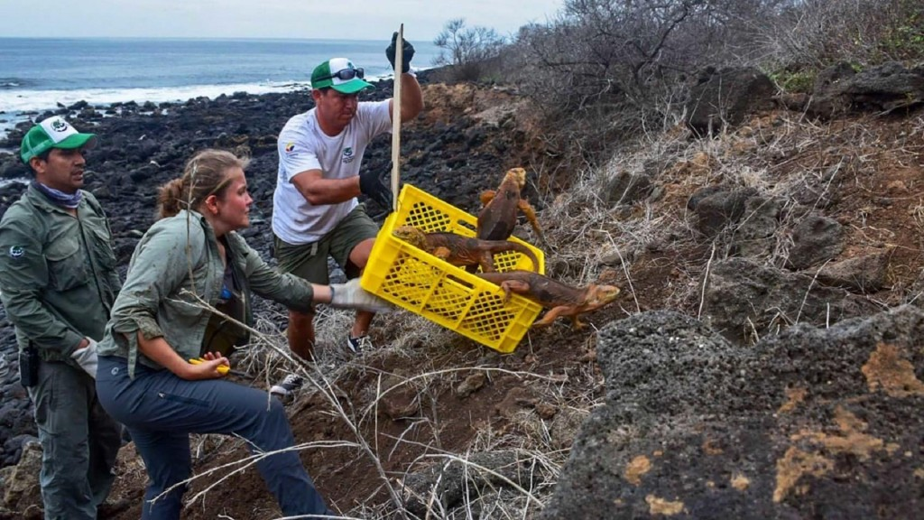Iguanas reintroduced to Galapagos island after 200 years