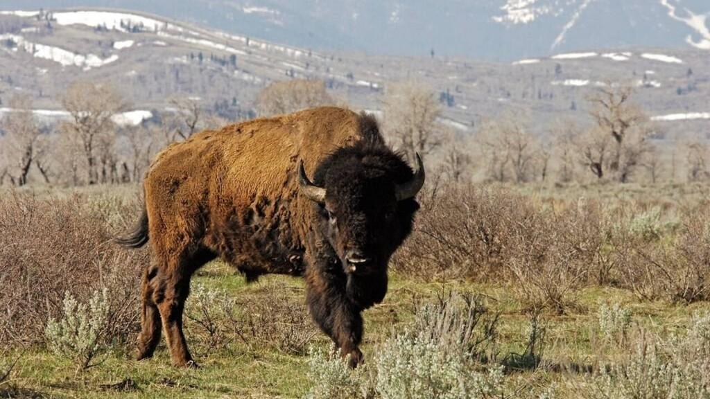 Teen gored after walking between two fighting bison in North Dakota