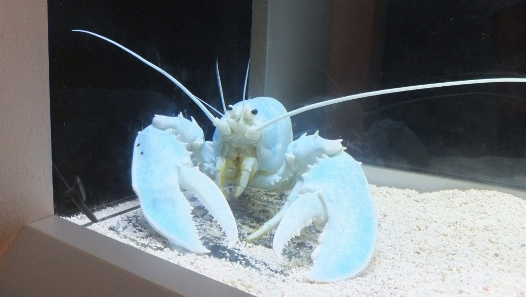 Fisherman catches rare 'ghost lobster'