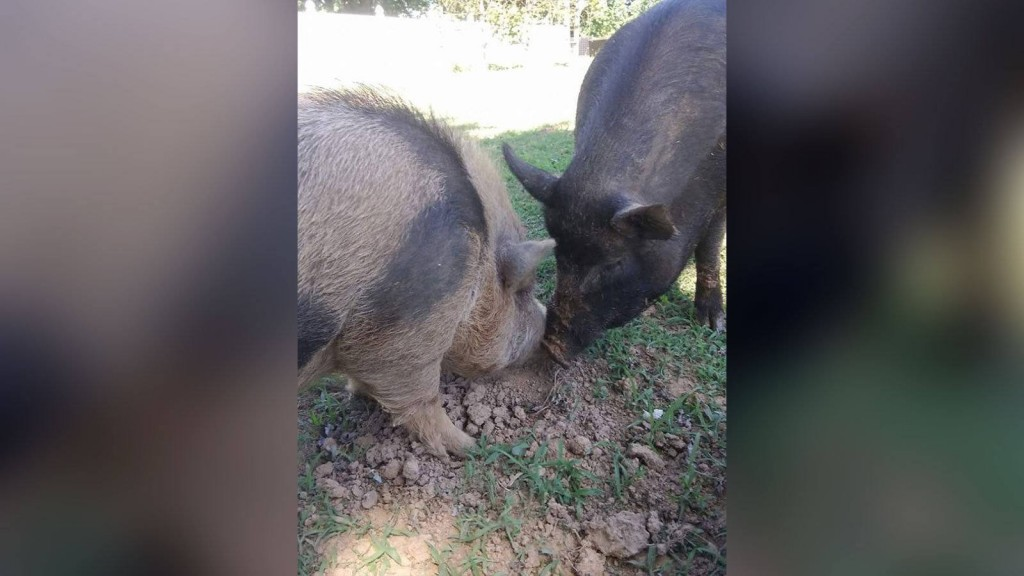 2 beloved therapy pigs found beaten to death