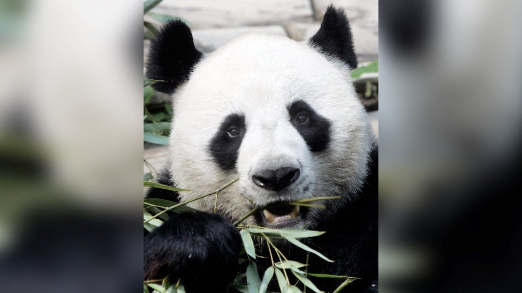 Giant panda's sudden death in Thai zoo sparks investigation