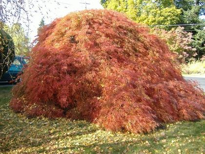 Now That's a Japanese Maple