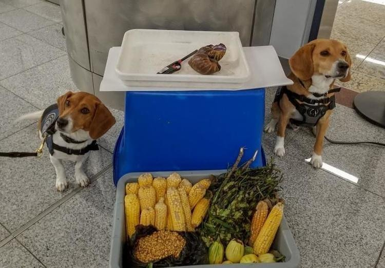 Beagles find invasive snails in Atlanta luggage