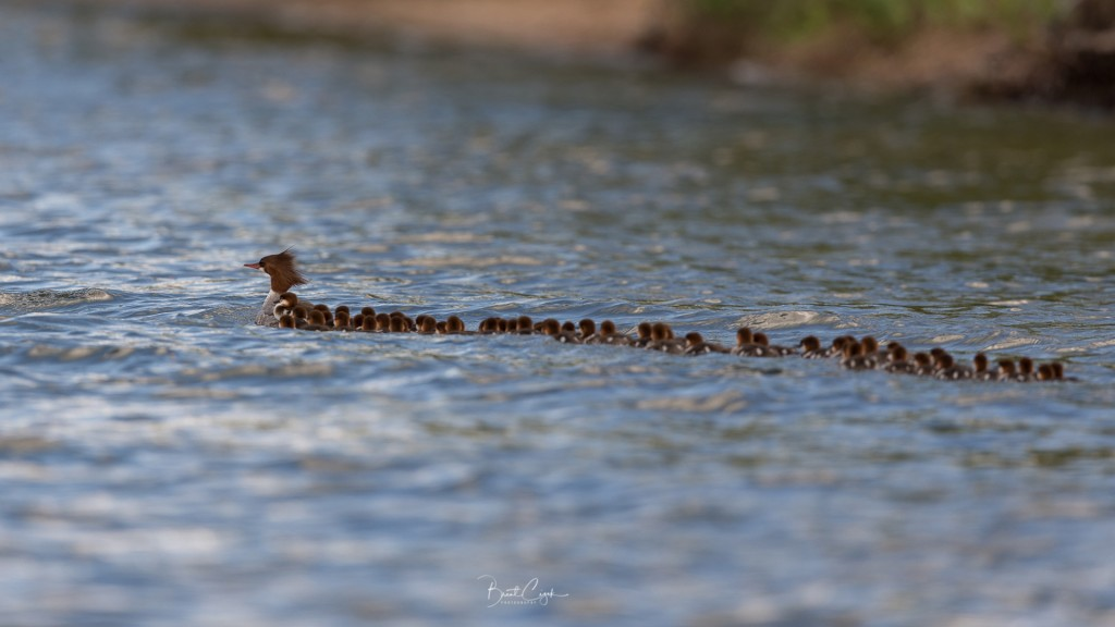 Photo shows mama duck with 76 ducklings