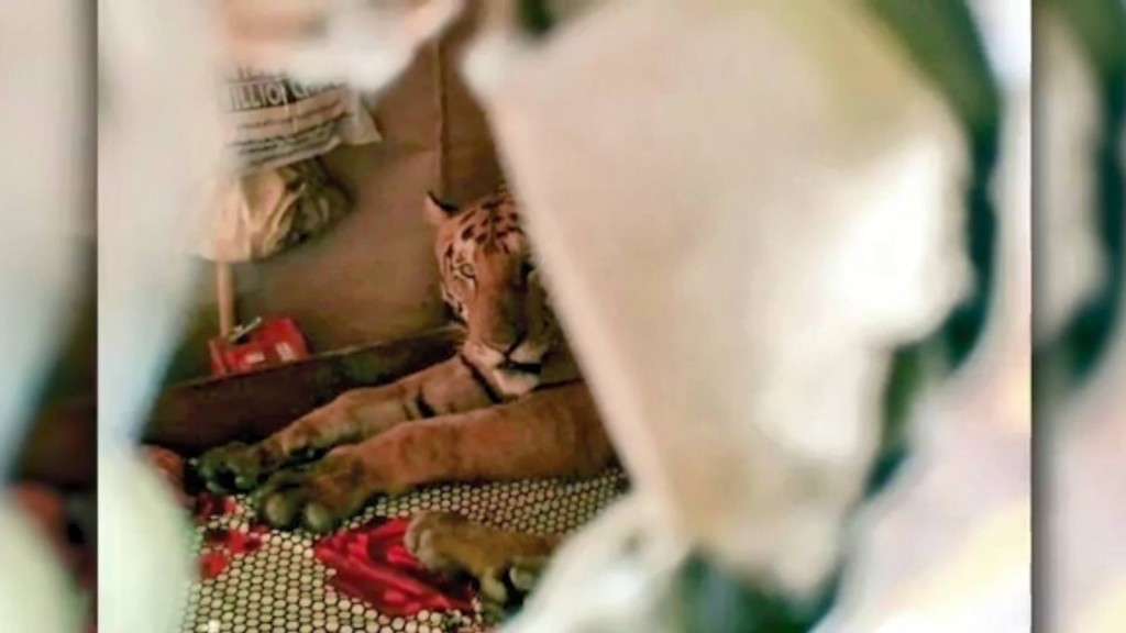 Tiger takes catnap on bed in Indian home after fleeing floods