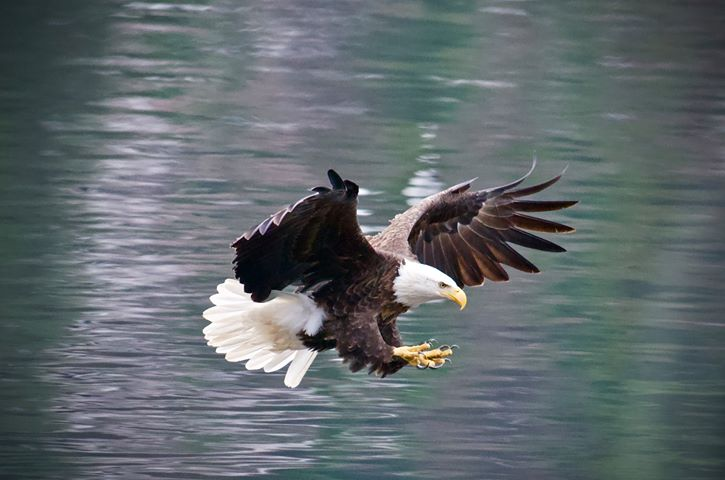 Bald eagle died of lead poisoning in Montana's Glacier Park