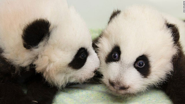 Twin giant panda cubs born in Berlin Zoo