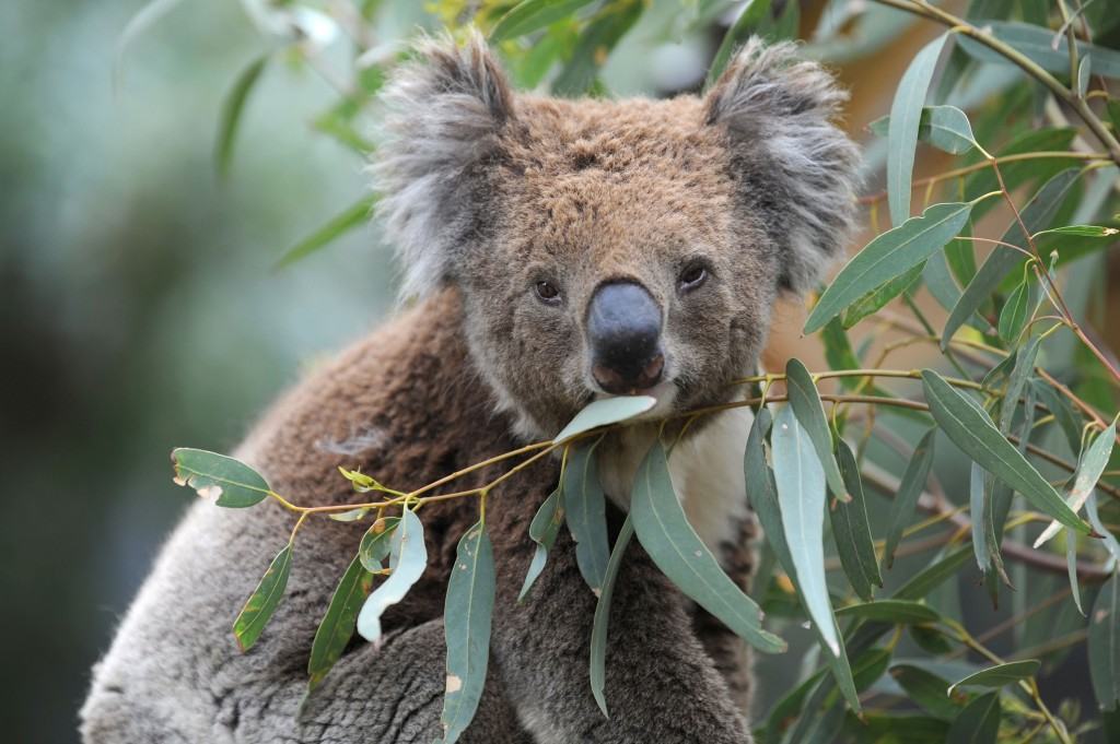 Koalas are likely dying by the hundreds