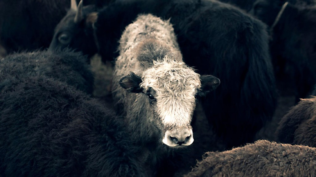 Could Mongolian yak wool be the new cashmere?