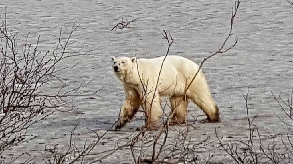 Hungry polar bear seen wandering in Russian city
