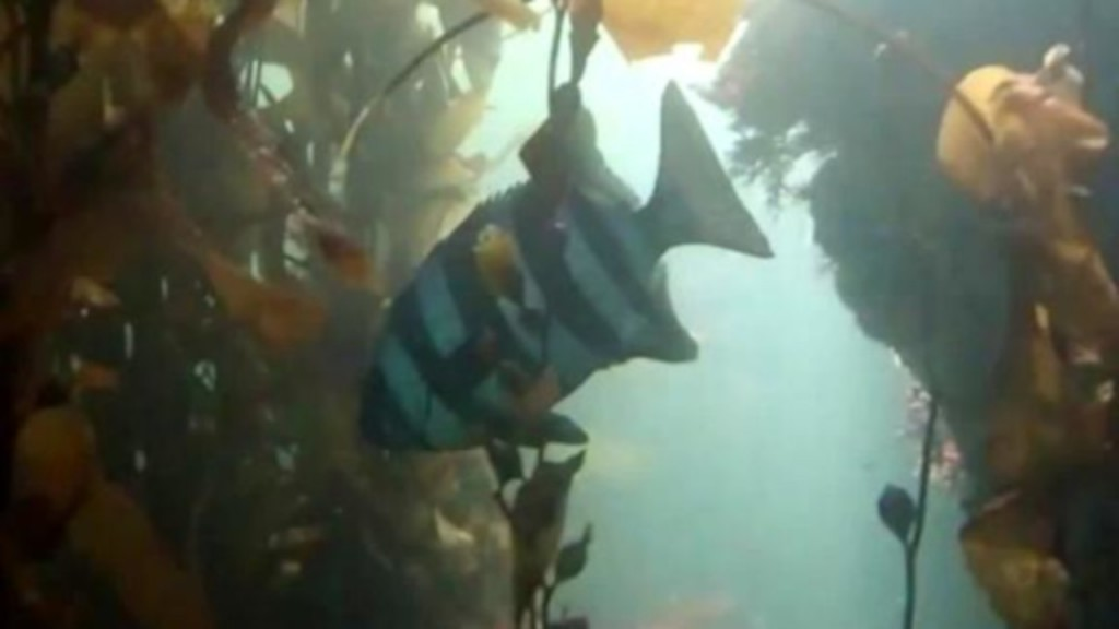 Scientists think exotic fish hitchhiked to California in tsunami debris