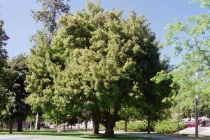 Re-Leaf CDA offers residents free street trees