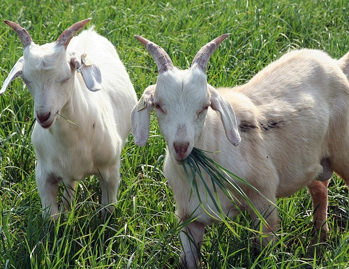 Aggressive goats cause Olympic National Forest trail closure