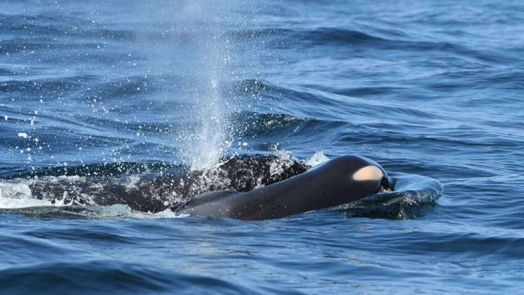 'Tour of grief is over' for killer whale no longer carrying dead calf
