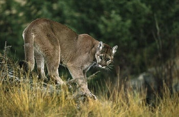 Man who shot caged cougar loses hunting rights