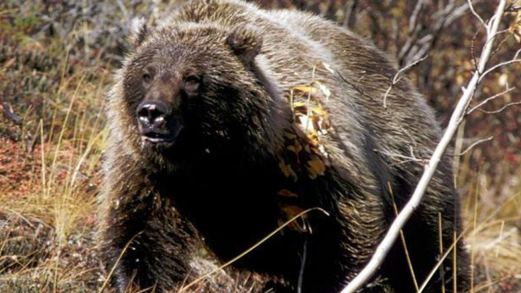 Officers search for grizzly seen in Wyoming residential area