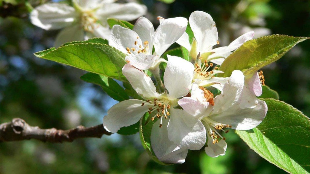 Apple blossom festival canceled