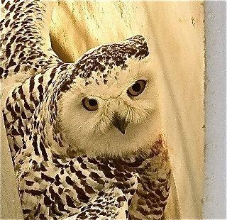 Moses Lake Man Helps Trapped Snowy Owl Escape