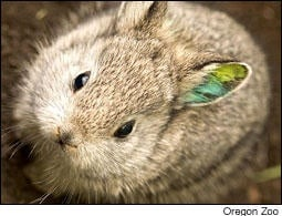 What To Do With The Columbia Basin Pygmy Rabbit