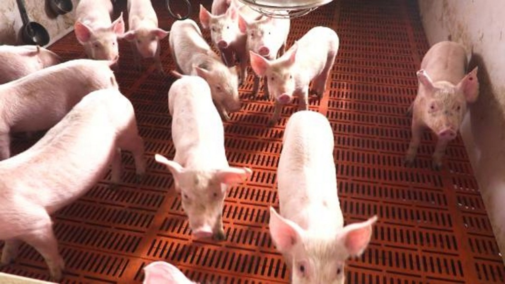Fever could kill a third of China's pigs