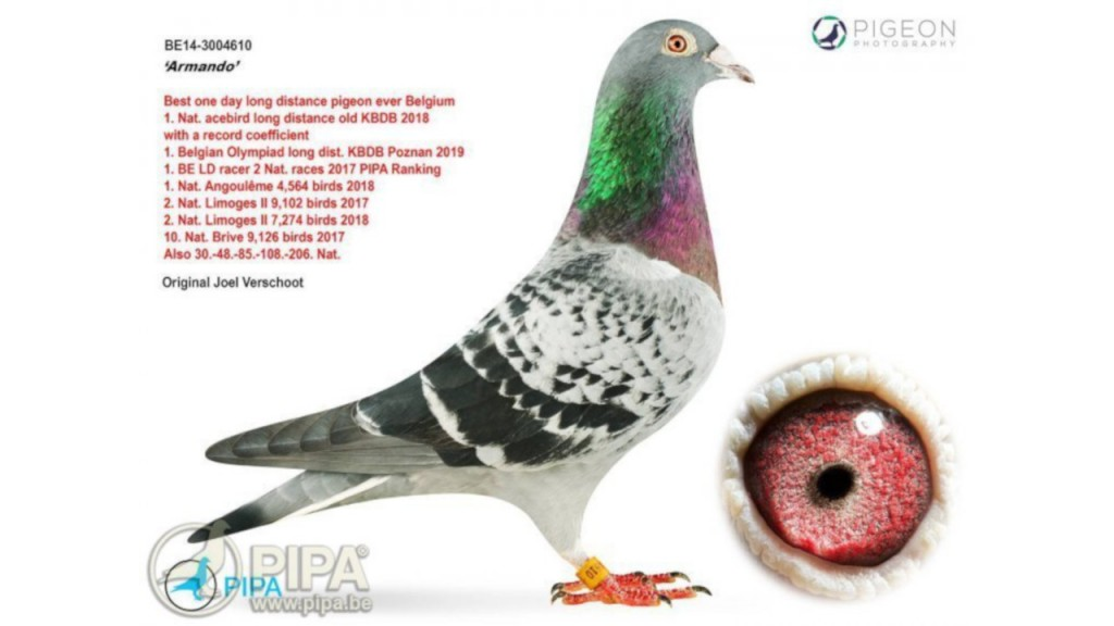 Chinese buyer bids record $1.4 million for racing pigeon
