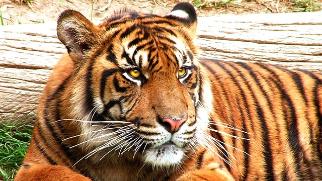 Tiger kills potential mate on first date