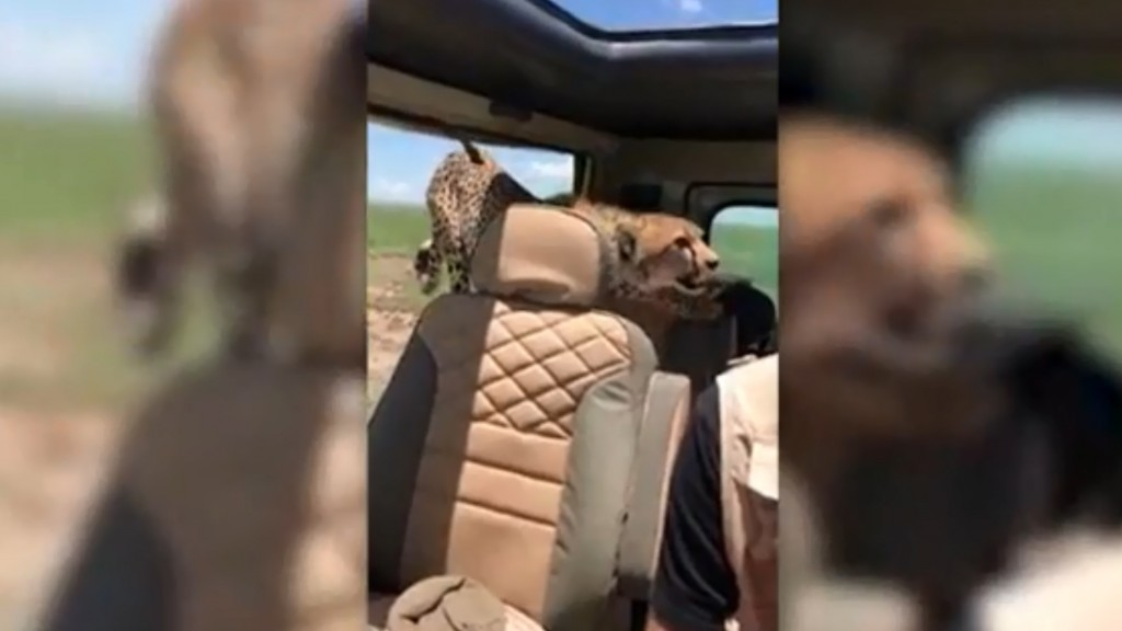 Cheetah jumps into Jeep with tourist