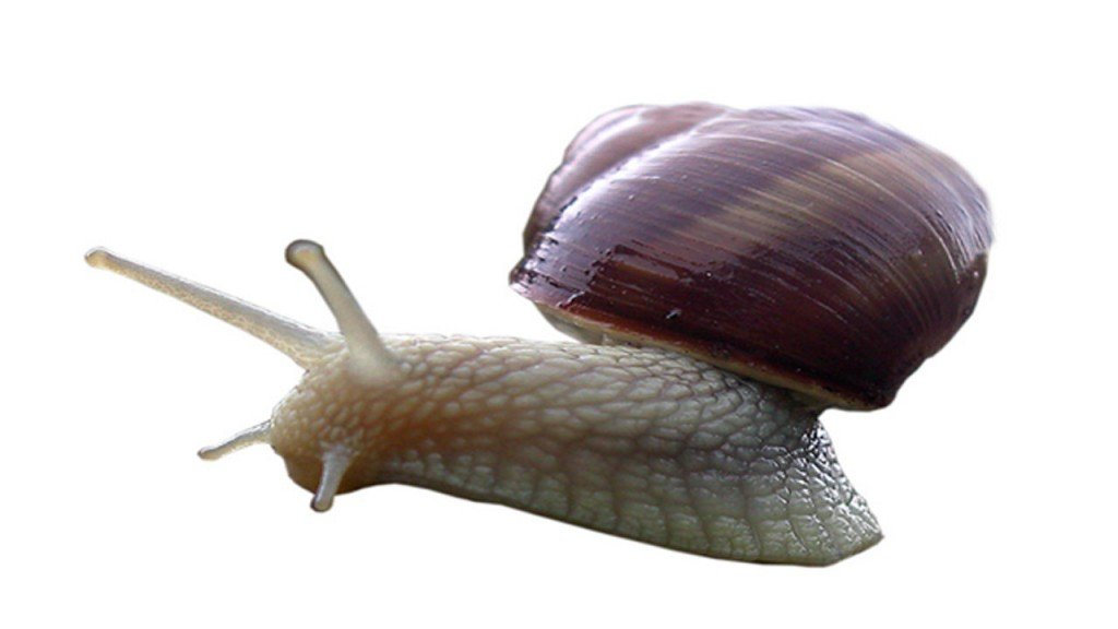 Scientists transplant memory from one snail to another