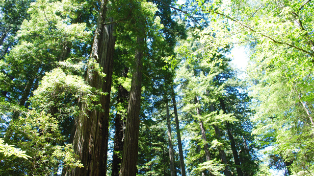 Conservationists want to buy largest remaining private sequoia forest