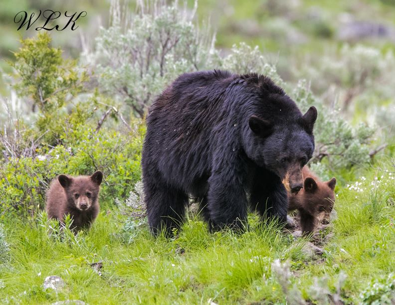 Black bear, cubs spotted along Iller Creek hiking area - KXLY