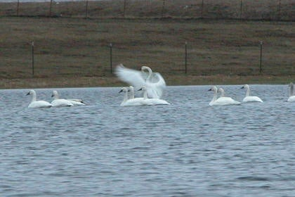 The Songs Of The Trumpeter Swans