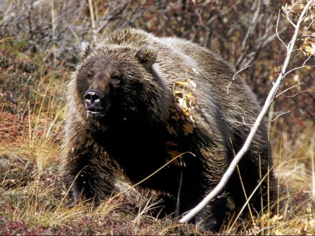 Deadline extended for input on North Cascades grizzlies plan
