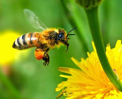 The Fragile State of the Honey Bee