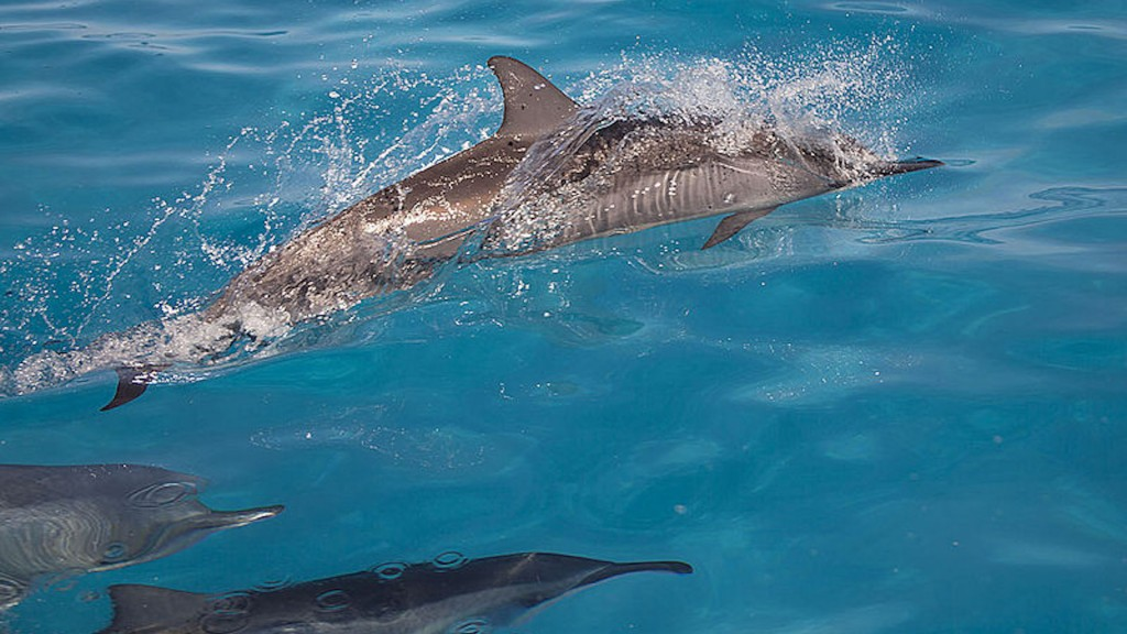 Swimming with Hawaii's charismatic spinner dolphins stirs controversy