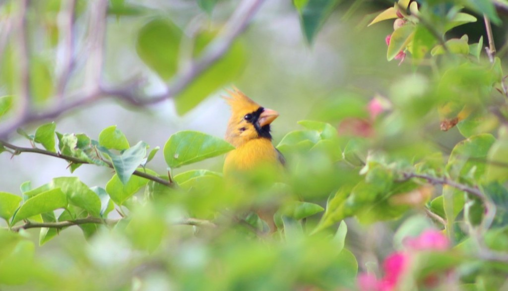 Rare yellow cardinal spotted in Florida