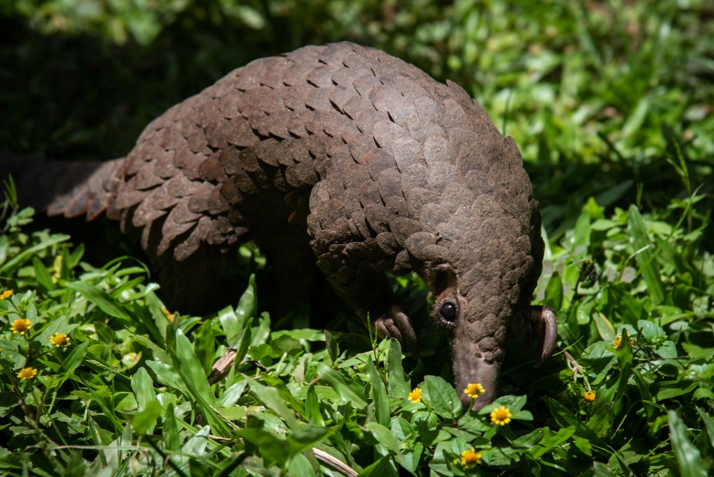 Uganda Nature Wildlife Pangolin