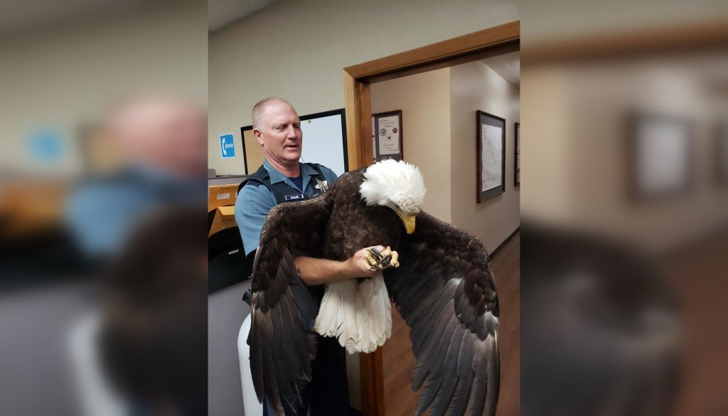 Rescued eagle 2
