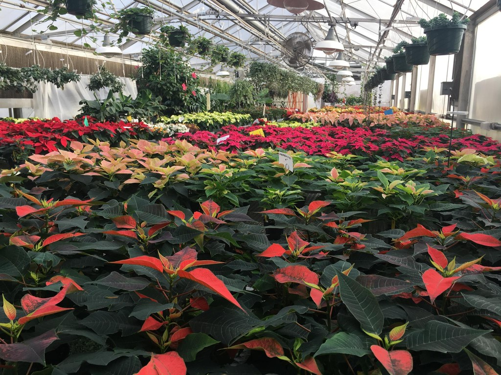 POINSETTIA SALE AT SCC GREENERY